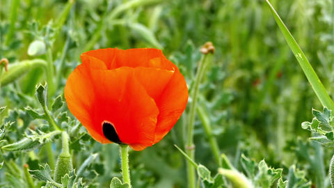 poppies,summer flower naturel poppy,spring flowers naturel poppy flower Live Action