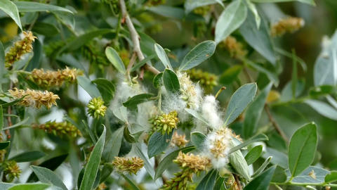 willow tree and pollen on leaves of willow tree Stock Video Footage