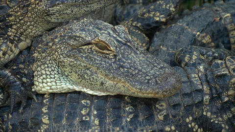 Alligators breeding farm Footage
