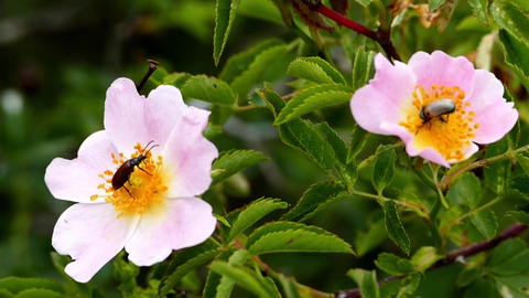 rosehip flowers and pollen-carrying insects Footage