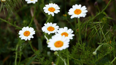 chamomile flowers Live Action