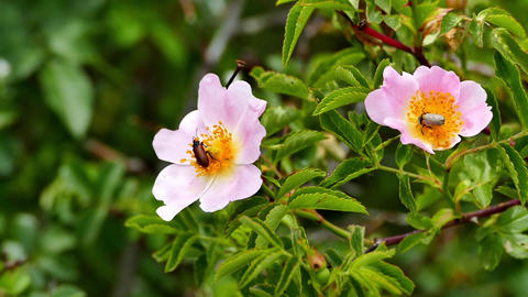 rosehip flowers and insects mating on Live Action