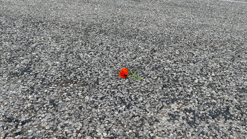 spring and poppy flowers the broken poppy flower is standing on the road Archivo