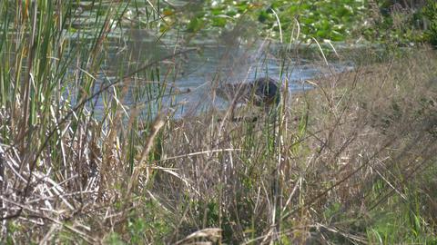 American Alligator walking Footage