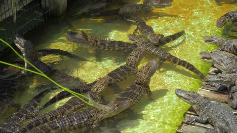 Hungry alligators on the farm Footage