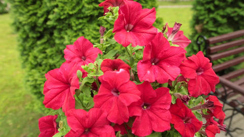 Red petunia garden flowers in the garden Live Action