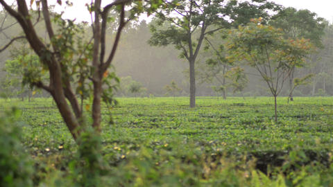 Slow wide slider shot of tea garden in the evening at Dibrugarh in India 영상물
