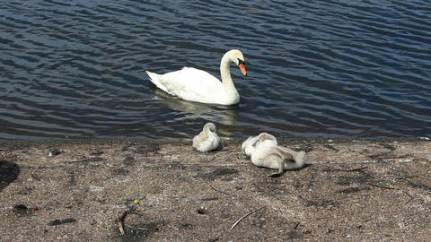 Mute swan family on the lake shore/Swan with chicks Footage