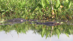 Two large alligators fight for territory Footage