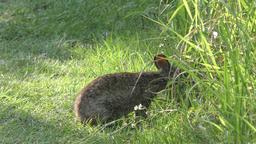 marsh rabbit feeds in Florida grassland Footage