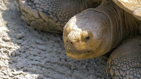 Large African Sulcata turtle Live Action