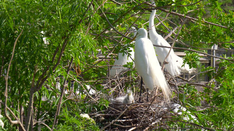 Great Egret nest with young chicks. Birds nest Footage