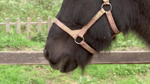 Lips of a friendly brown horse of Icelandic breed in the pen Footage