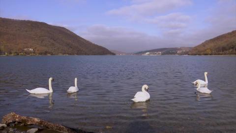 A flock of white swans on Lake Abrau waving their wings Footage