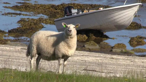 Coast fauna flora animals sheep Live Action