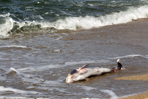Killed dolphin thrown out of the sea waves Fotografía