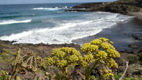 Bright yellow flowers growing on volcanic rocks in Tenerife Footage