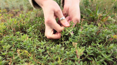 Woman hands picking up fresh green thyme growing in the meadow Footage