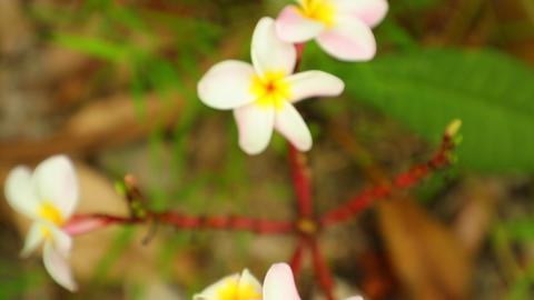 Plumeria Frangipani Flowers Panning High Definition Live Action