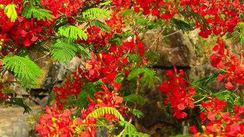 Flame Tree Royal Poinciana Vibrant Red Flowers HD Footage ビデオ