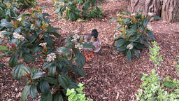 Duck in the flower bed Somerset UK Footage
