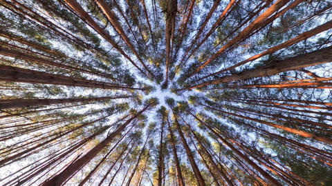 Looking up into pine forest canopy, ultra wide angle Footage