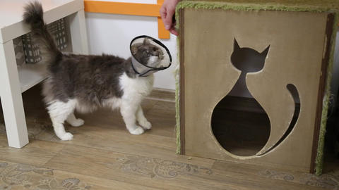 Cat with injury is being educated at scratching post Footage