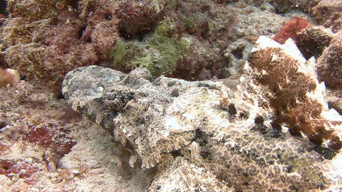 Lurking at the bottom of the crocodile fish waiting for prey Footage