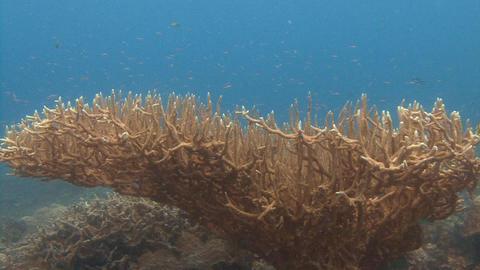 Huge bushes of hard corals Footage