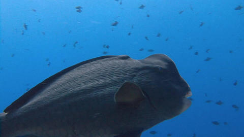 Amazing dive on the beautiful reef Blue Corner. Careful and fairly rare bumphead Footage