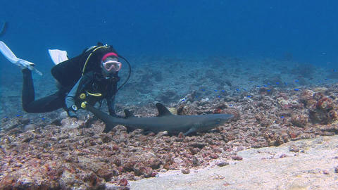 Great dives with sharks at the reef Blue Corner. Some individuals are very trust Footage