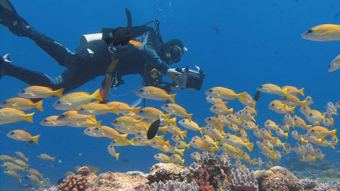 Underwater videographer, filming a flock of colorful snappers fish Live Action