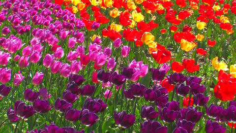Multicolored Tulips Live Action