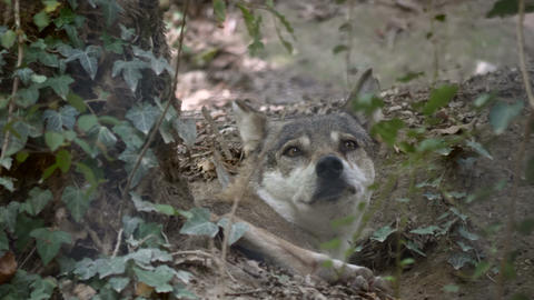Gray Wolf Forest Close Up Footage