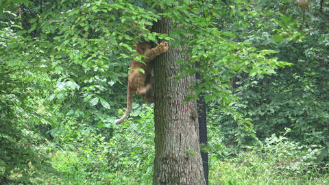 A cute young lion cub climbing on a tree. Lion cub climbing tree Live Action
