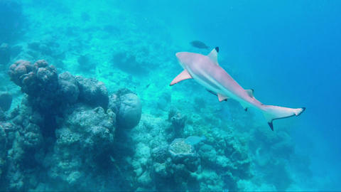 Black-tipped-reef-shark-maldives Footage