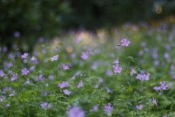 Blue flower fields1 Photo