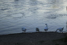 Gooses on the Loire river side1 Fotografía