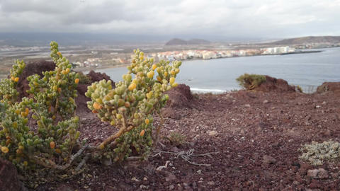 Vegetation growing on volcanic rocks in the south of Tenerife Footage
