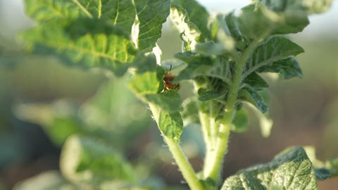 Colorado potato beetle larvae eat green leaves Archivo