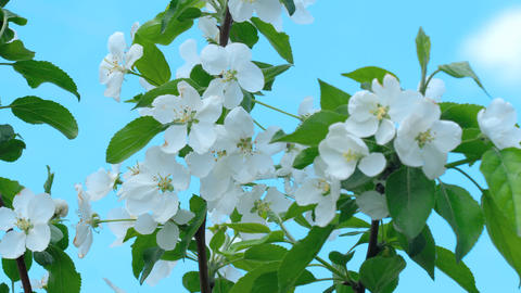 Apple-tree in bloom Footage