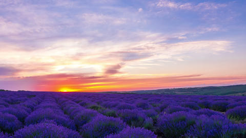 Sunset Over A Field Of Lavender Footage