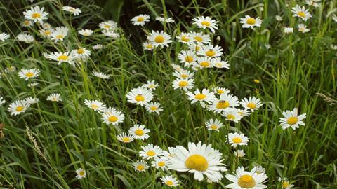 Beautiful meadow field with wild Ox-eye daisies Footage
