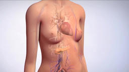 body model: pancreas secretes insulin Footage