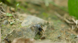 Blue-banded Bee sucking minerals on rock streams Live Action