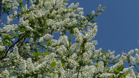 Flowering cherry tree against the blue sky Footage