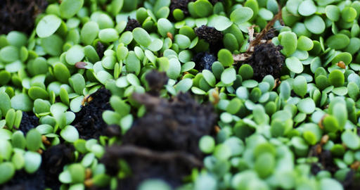 fresh seedlings sprouted throughout earth Live Action