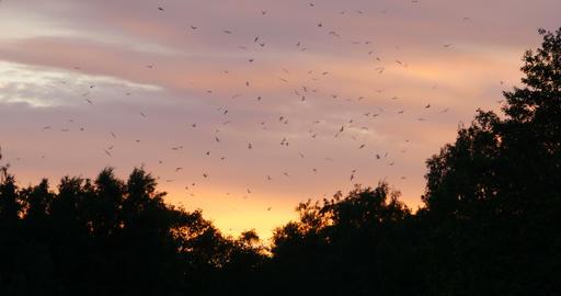 flock of alarmed birds in the evening sky Footage