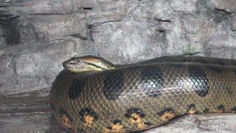 Green anaconda (Eunectes murinus). Big anaconda GIF