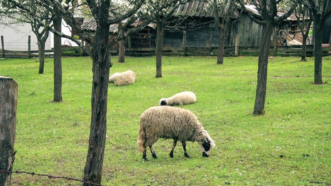 Sheep eat green grass in summer time Archivo